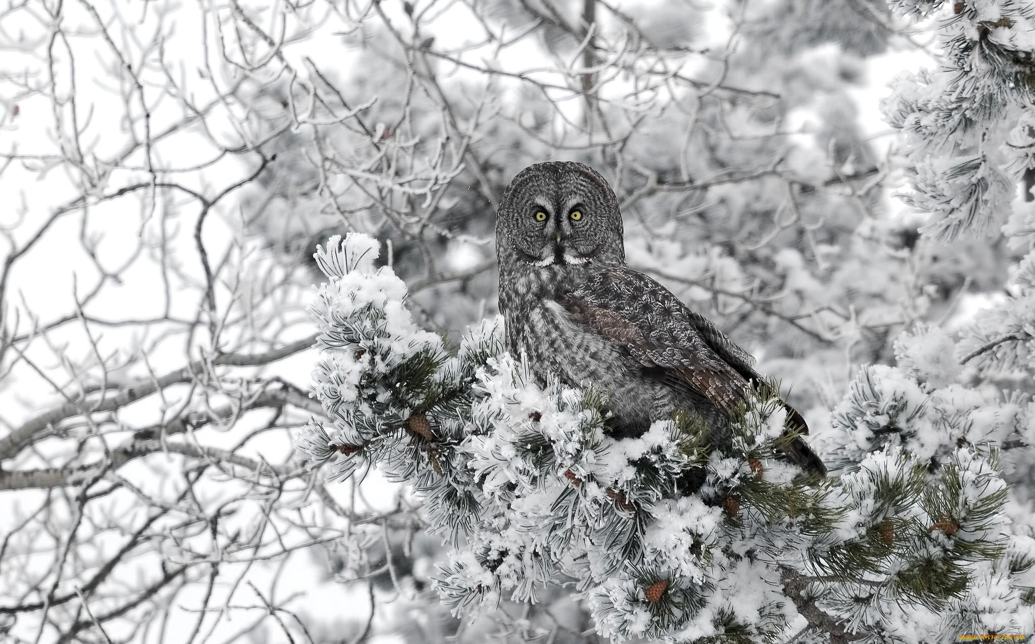 картинки совы зимой в лесу нашей